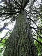 The Atlantic White Cedar